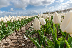 Campi olandesi della lampadina con i tulipani famosi Immagine Stock Libera da Diritti