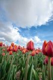 Campi olandesi della lampadina con i tulipani famosi Immagini Stock Libere da Diritti