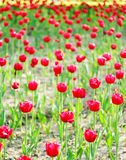Campi rossi del tulipano Fotografie Stock
