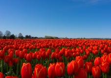 Campi rossi del tulipano Fotografie Stock Libere da Diritti