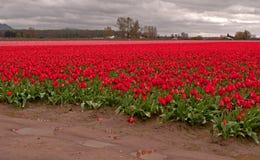 Campi rossi e dentellare del tulipano in valle di Skagit, Wa Immagine Stock