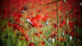 Campi rossi piacevoli con un certi papavero e lumaca fotografia stock