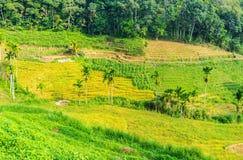 Campi a terrazze nello Sri Lanka Immagini Stock Libere da Diritti