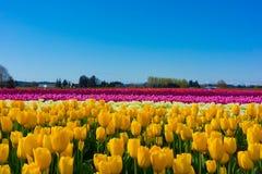Campi variopinti del tulipano Fotografia Stock Libera da Diritti
