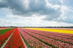 Campi variopinti del tulipano ed i turisti nella distanza, il Neth Fotografie Stock