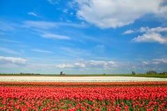 Campi variopinti e mulino a vento del tulipano in primavera Immagine Stock