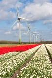 Campi variopinti olandesi del tulipano con le turbine di vento Fotografie Stock Libere da Diritti