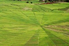 Campi verde intenso della ragnatela del riso immagini stock libere da diritti