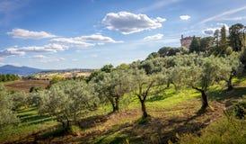 Campi verde oliva della Toscana Fotografia Stock