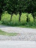 Campi verdi con i grandi alberi verdi fotografie stock libere da diritti