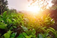 Campi verdi di tè a tempo di tramonto Immagini Stock