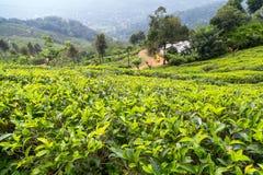 Campi verdi di verde della foglia di tè Fotografie Stock Libere da Diritti