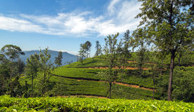 Campi verdi di verde della foglia di tè Immagine Stock Libera da Diritti