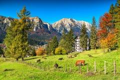 Campi verdi meravigliosi con il pascolo delle mucche, Busteni, la Transilvania, Romania, Europa fotografia stock libera da diritti