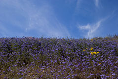 Campi viola del Wildflower Fotografie Stock Libere da Diritti