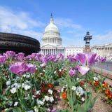 Campidoglio degli Stati Uniti con il Washington DC della priorità alta dei tulipani Fotografia Stock