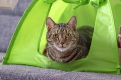 Camping de marbre mignon de chat dans la tente verte de chat de chaux demandant l'attention et essayant d'être l'animal familier  photographie stock libre de droits