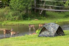 Camping with deers Royalty Free Stock Image