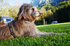 Camping with dog. Dog sitting on a meadow camping cars in the back stock photo