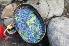 Camping herbal tea with blue berries. Honeysuckle camping tea in a pot authentic summer kitchen stock images