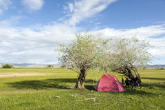 Camping in Mongolia. A pink tents rests in between two small trees in the vast Mongolian landscape Stock Photography