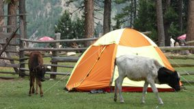 Camping pod. With aninals grazzing on the green grass at Fairy Meadows royalty free stock photos