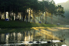 Camping. Site at lake side at sunrise and black swans Stock Photos