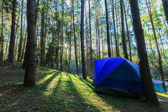 Camping site at pine plantations. At sunrise Stock Images