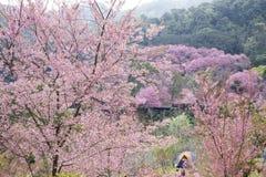 Camping tent with Sakura pink. Royalty Free Stock Photo