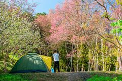 Camping tent with a Traveler looking Wild Himalayan Cherry Pink. Sakura in moutain Royalty Free Stock Images
