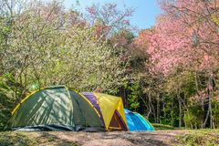 Camping tent with Wild Himalayan Cherry Pink SakuraBlooming. Camping tent with Wild Himalayan Cherry Pink SakuraBlooming in background Stock Image