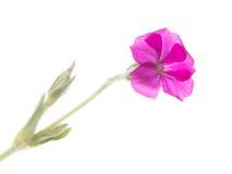 Campion flower crown Stock Photo