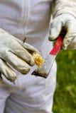 Campionamento del miele fresco dall'alveare dell'ape mellifica Fotografia Stock