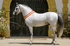 Campione arabo dello stallone di Hispano nella fiera del cavallo di Jerez fotografia stock libera da diritti