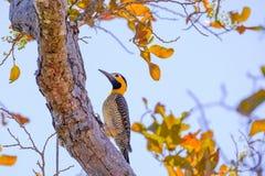 Campo τρεμούλιασμα, Colaptes Campestris, ένα είδος πουλιού στην οικογένεια δρυοκολαπτών, Pocone, Pantanal, Mato Grosso, Βραζιλία στοκ εικόνες