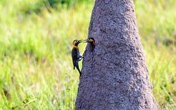 Campo τρεμούλιασμα με το σύντροφό του επί του τόπου φωλιών στοκ εικόνες