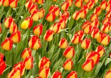 Campo #1 do Tulip Imagem de Stock Royalty Free
