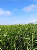Campo #2 de la caña de azúcar Fotografía de archivo libre de regalías