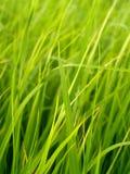 Campo 2 do arroz Imagens de Stock Royalty Free