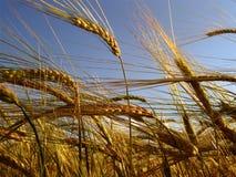 Campo 3 de la cebada Imagen de archivo libre de regalías