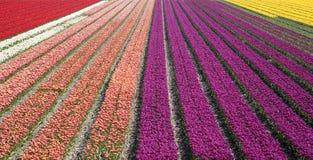 Campo 33 del tulipano Fotografia Stock