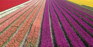 Campo 33 del tulipán Foto de archivo