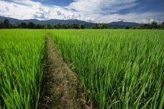 Campo 4 del arroz Imagenes de archivo