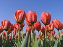 Campo 5 del tulipano fotografia stock libera da diritti