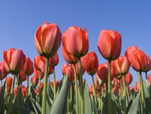 Campo 5 do Tulip fotografia de stock royalty free
