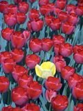 Campo 8 del tulipán Foto de archivo libre de regalías