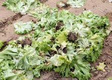 campo abbandonato foglie del lattuce della putrefazione immagine stock