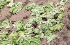 campo abbandonato foglie del lattuce della putrefazione fotografie stock