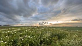 Campo abierto plano con las flores de la margarita blanca Fotografía de archivo