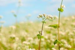 Flor do trigo mourisco acima do campo Imagens de Stock